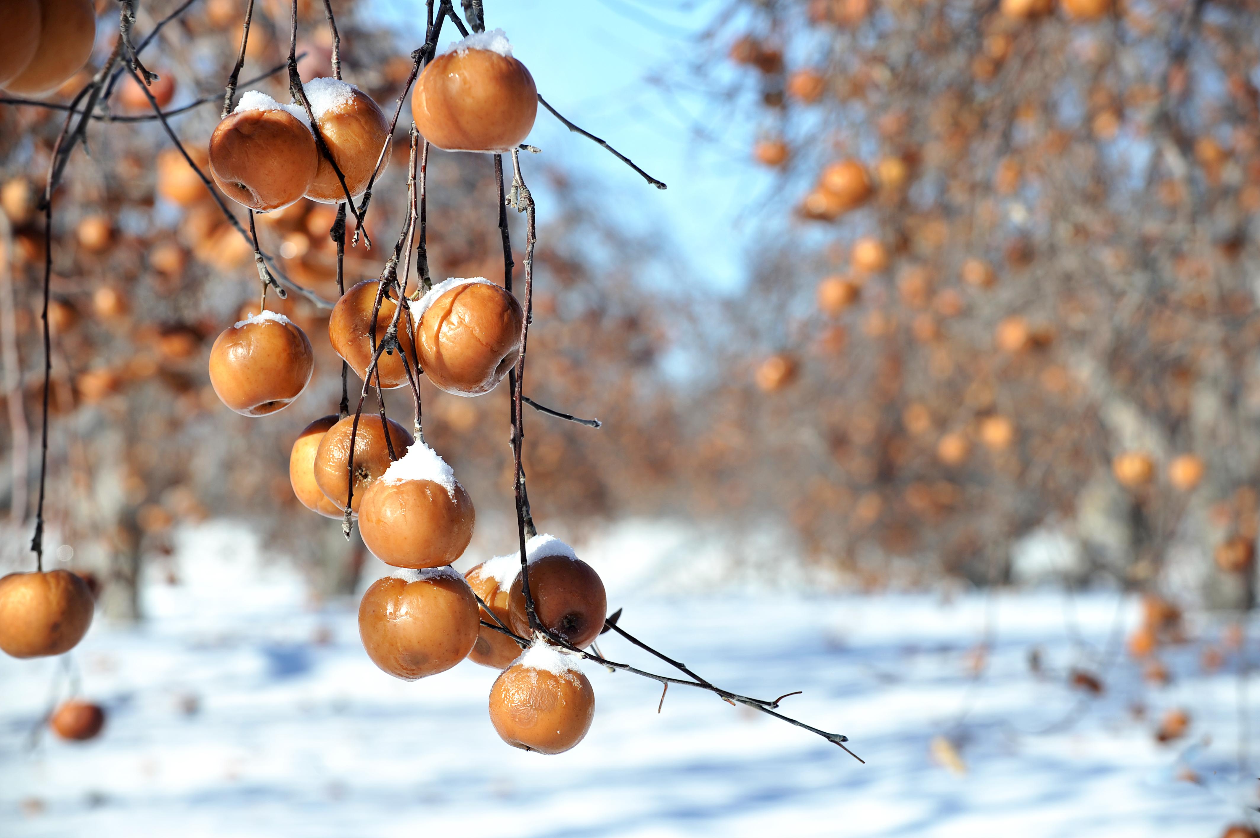 Cueillette des pommes gelées aux Vergers Lafrance