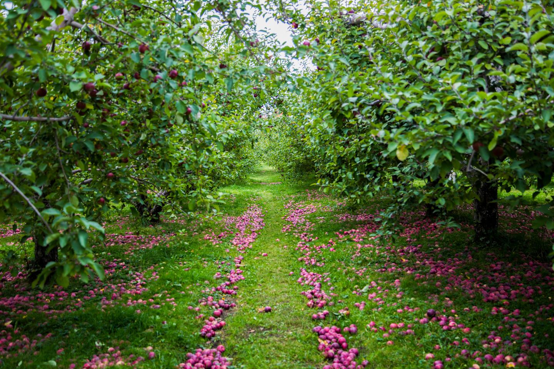 Autocueillette des pommes : 5 vergers bios et écolos à découvrir