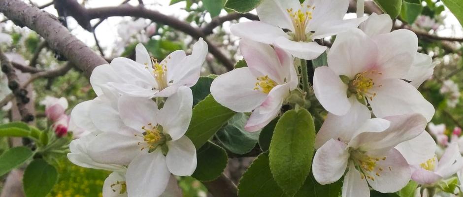 Festival des pommiers en fleurs à Saint-Joseph-du-Lac!
